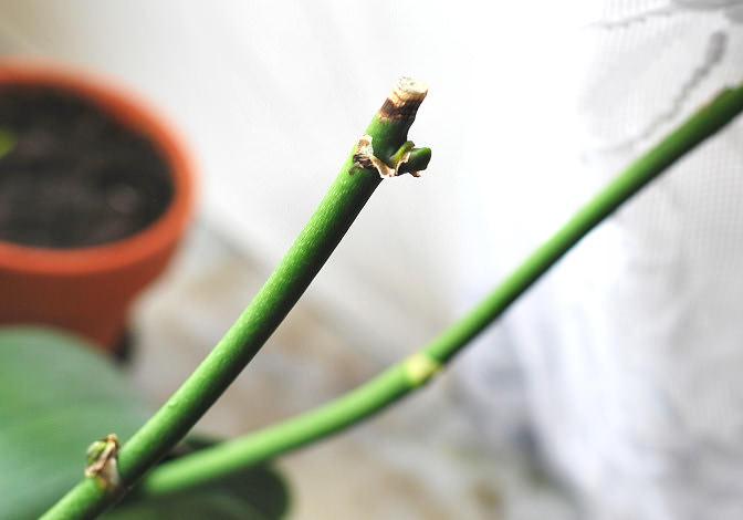 Если цветонос у орхидеи сохнет или уже засох, то его следует аккуратно обрезать