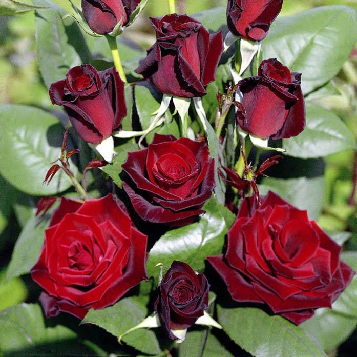 Чайно-гибридные розы присутствуют во многих цветниках и садах