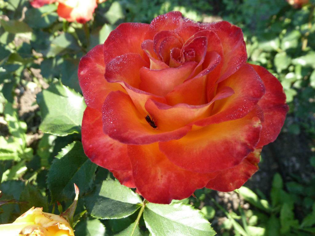 Выращивание гибридных роз интересно многим дачникам
