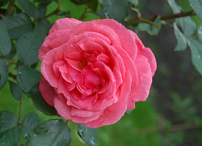 Чайно-гибридные розы были получены за счет скрещивания розы чайной и розы ремонтантной