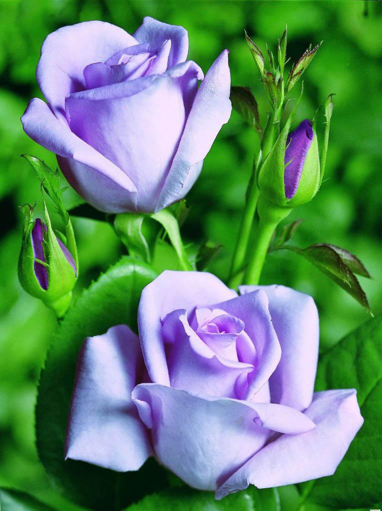 Правильное и своевременное удобрение чайно гибридных роз даст возможность растениям правильно развиваться и цвести