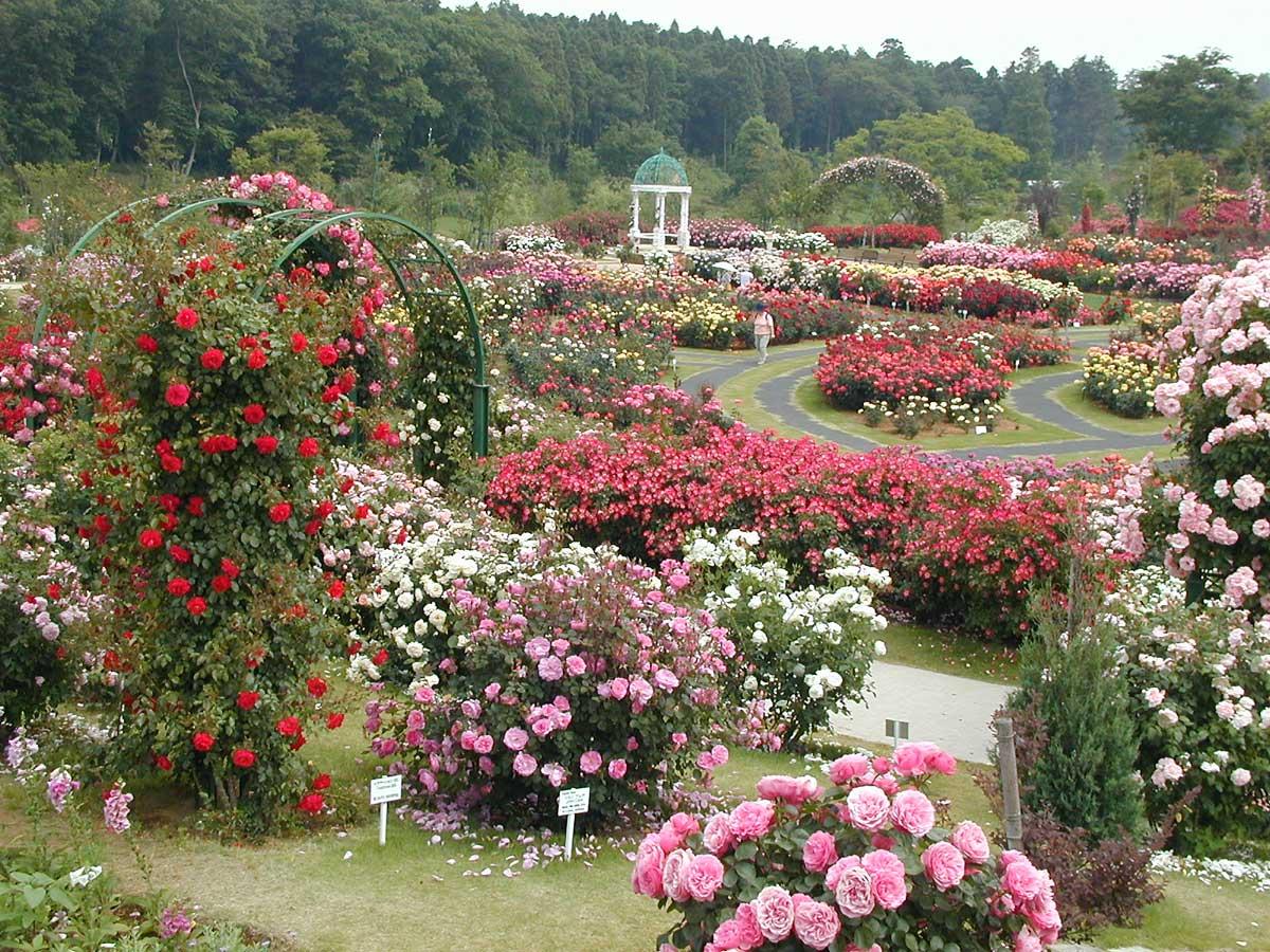 розовый сад фотографии словам фитнес-тренера, стройность