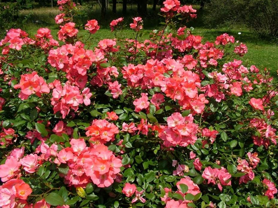 Выращивание домашней розы, выращивание чайно-гибридных роз, а также выращивание голландских роз, к примеру, очень отличается друг от друга