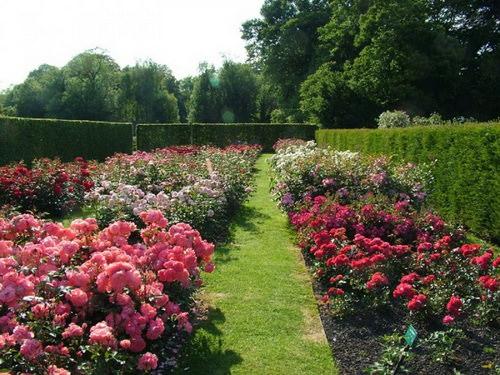 Помните, что полив, подкормки, обрезка, укрытие на зиму и прочие виды ухода за розами, должны очень четко соблюдаться