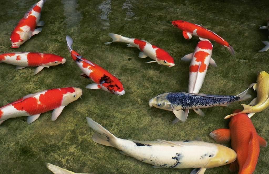 В пруду можно разводить 2-3 декоративные разновидности рыб