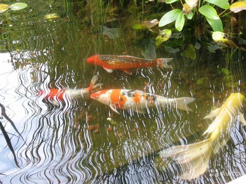 Китайские и японские селекционеры вывели карпа-кои, который очень быстро стал одной из самых популярных декоративных рыб для пруда на даче