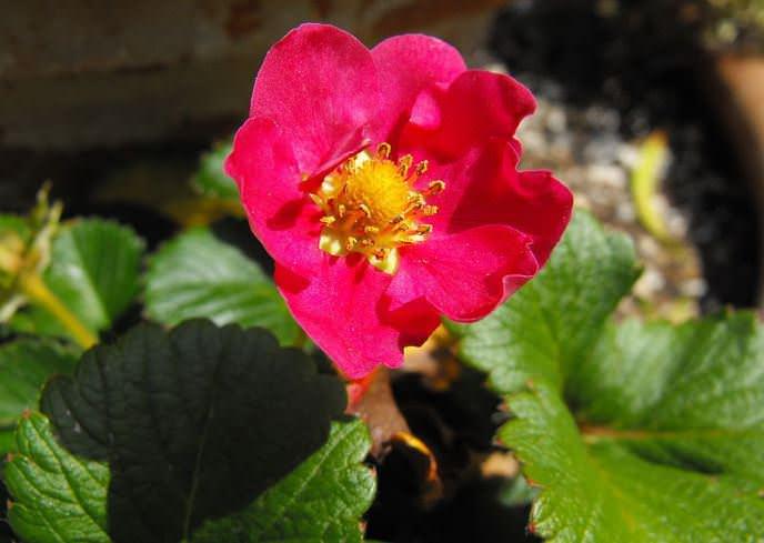 Садовая земляника «Фелиция» достаточно редко поражается болезнями