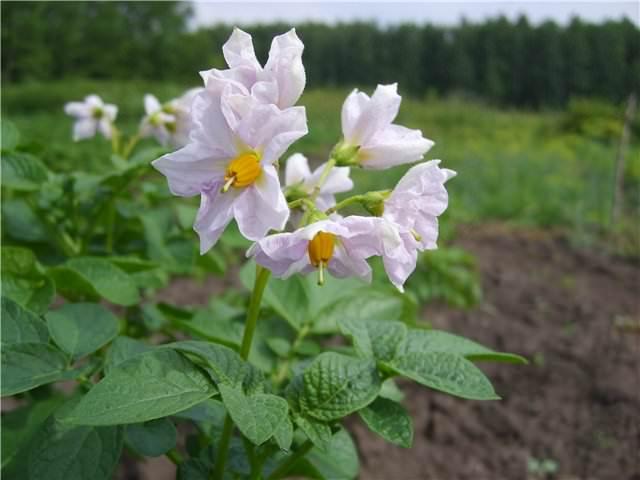 Сорт «Коломбо» характеризуется устойчивостью к возбудителю картофельного рака и золотистой картофельной цистообразующей нематоде