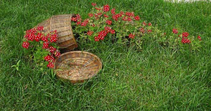Для размещения на участке садово-паркового газона требуются травы с хорошей дерниной
