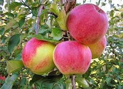 Яблоня «Уэлси» неприхотлива в выращивании