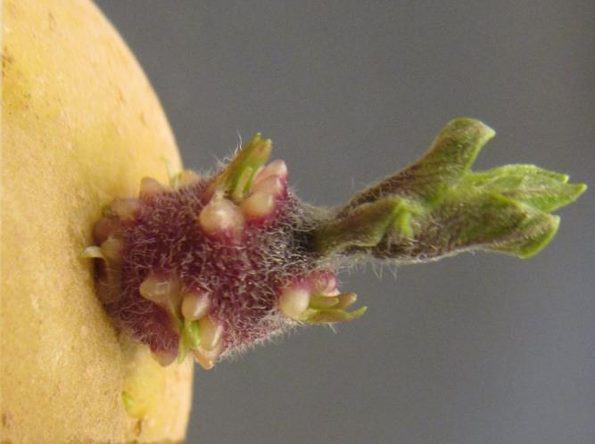 Картофель «Коломбо» следует высаживать пророщенными клубнями