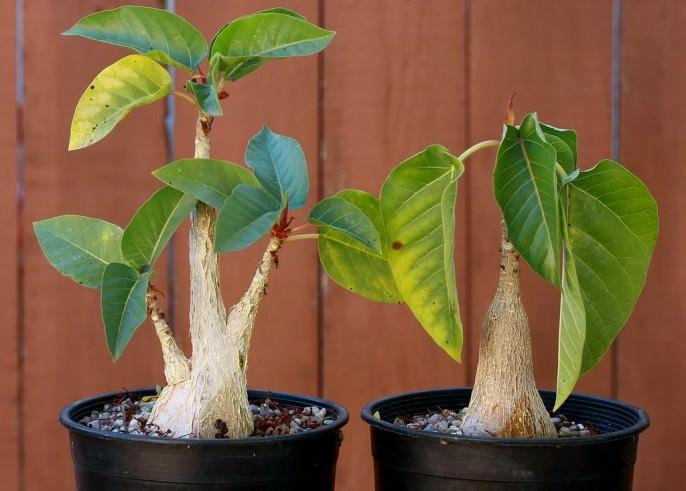 «Пальмера» (FicuspalmeriS. Wats)