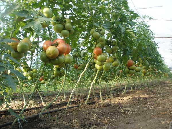 Высокорослые томаты сорта «Король королей» требуют подвязывания и пасынкования в один или два стебля