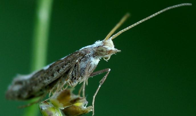 Капустная моль приводит к гибели молодую капусту из-за повреждения центральных розеток