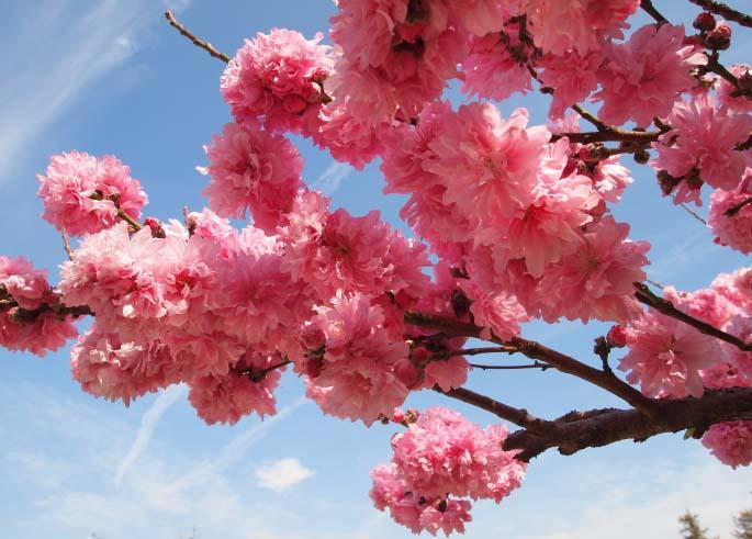Сакура – одно из самых красиво цветущих деревьев на планете