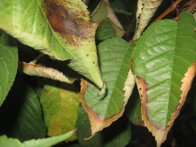 Наиболее часто из заболеваний у вишни встречается клястероспориоз