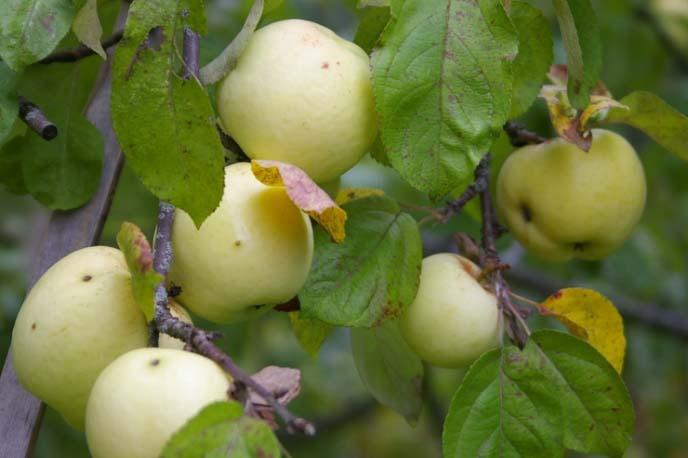 Яблони сорта «Антоновка» часто выращиваются на приусадебных участках в нашей стране