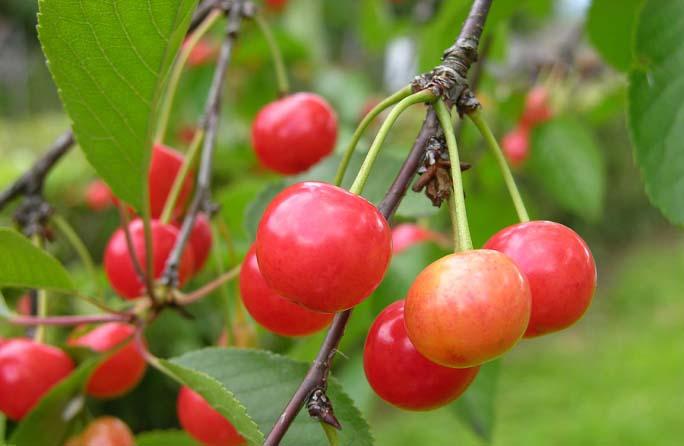Полученные в результате прививки гибридные растения не способны формировать плоды с аналогичными качественными показателями
