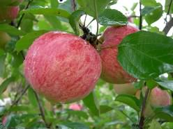 «Штрифель» – один из самых популярных сортов яблонь у садоводов