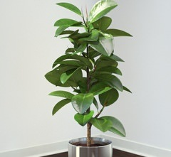 Фикус каучуконосный – неприхотливое растение