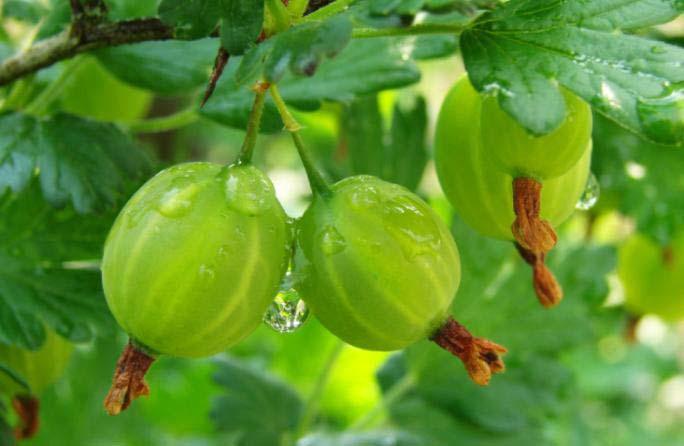 Крыжовник «Мысовский-37» характеризуется высокой урожайностью