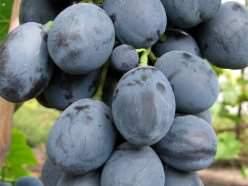 Виноград «Фуршетный» является новой гибридной формой