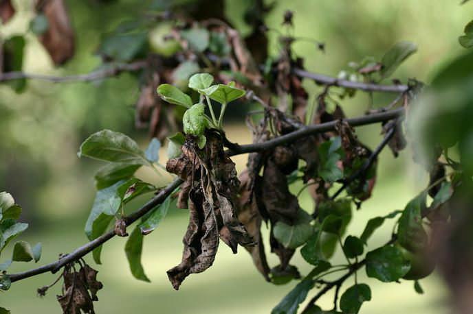 Бактериальный ожог считается болезнью молодых яблонь