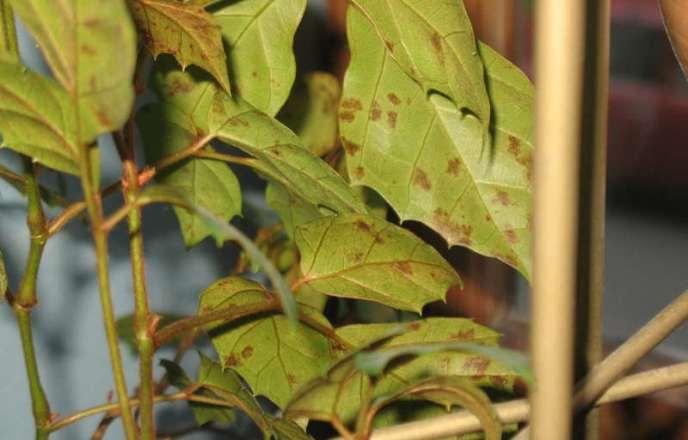 Часто можно наблюдать, когда листья циссуса блекнут, высыхают и опадают