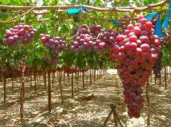 Виноград «Сенатор» является новой гибридной формой раннесреднего срока созревания