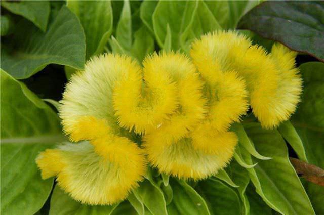 Целозия гребенчатая серебристая – цветки этого сорта растения образуют соцветие, очень напоминающее петушиный гребень