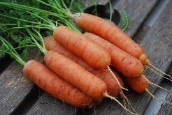 Морковь – популярная культура, которая относится к семейству зонтичных