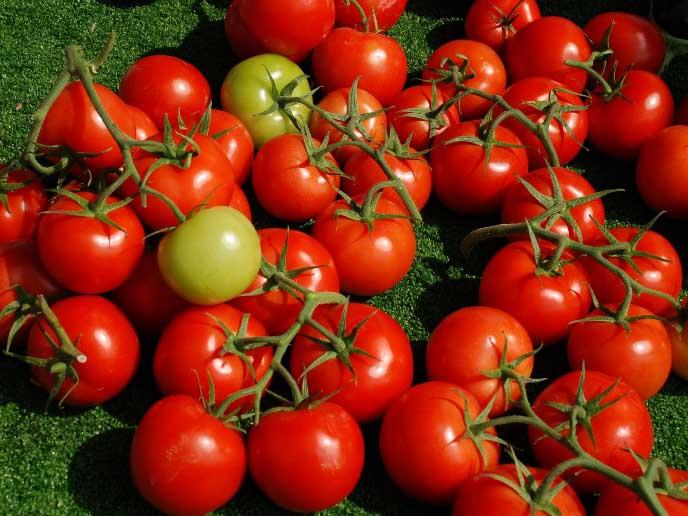 В условиях любительского выращивания сезонная урожайность сорта «Спрут» составляет порядка 6-7 кг спелых томатов с каждого куста