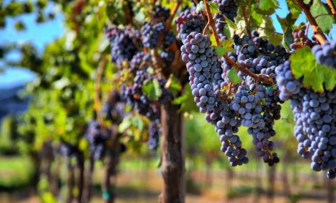 Винные сорта винограда используются непосредственно для создания вина и соков