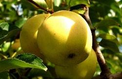 Садоводы в восторге от яблони «Голден Делишес»