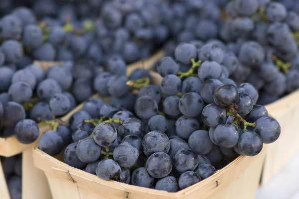 Виноград «Изабелла» даёт урожай до 50 кг и более при соблюдении режима поливов