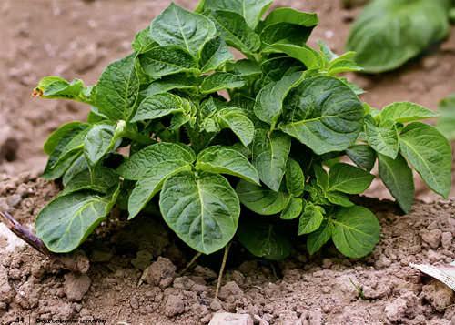 Картофель «Бентье» нуждается в удаление сорных растений с последующим рыхлением почвы