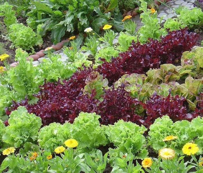 В зависимости от свободного места на огороде выберите способ того, как вырастить салат на участке