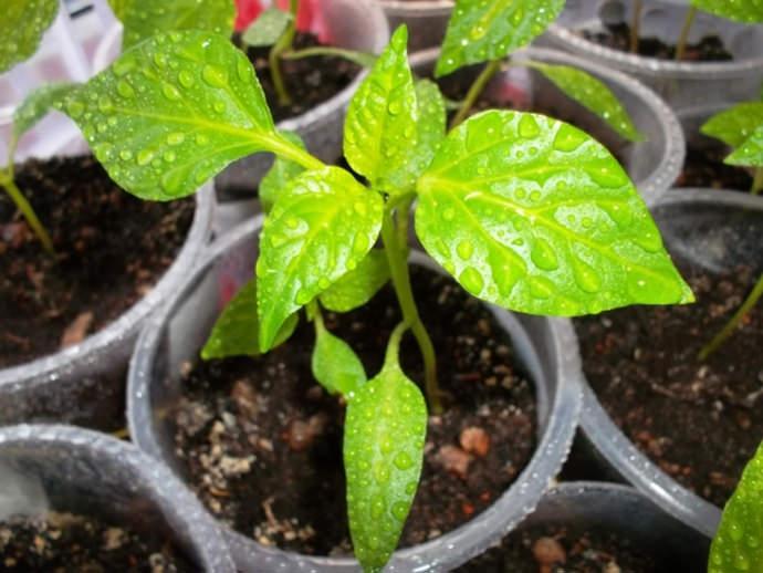 Профилактика считается очень важным мероприятием, проведение которого значительно понижает вероятность заражения растений вредителями или заболеваниями
