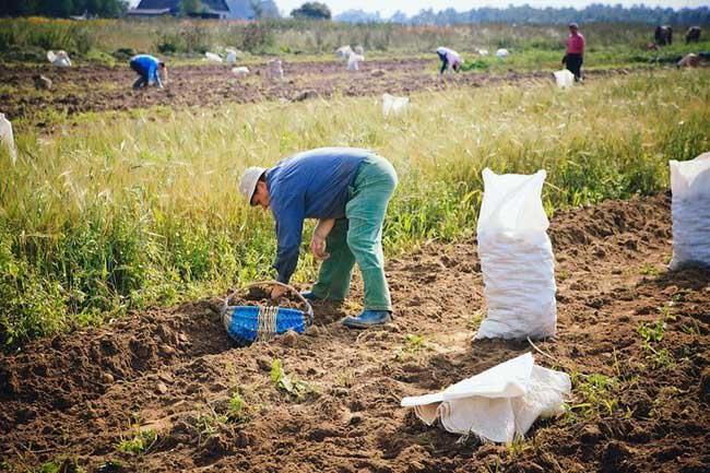 Сбор урожая картофеля «Беллароза» осуществляется уже через пару месяцев после посадки