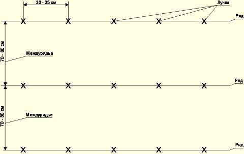 Стандартная схема посадки посевного материала сорта «Астерикс» 0,7 х 0,35 м