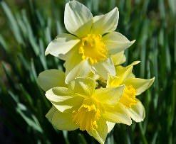 Нарциссы – самые популярные цветы у дачников