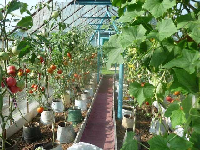 можно сажать перец с помидорами в теплице