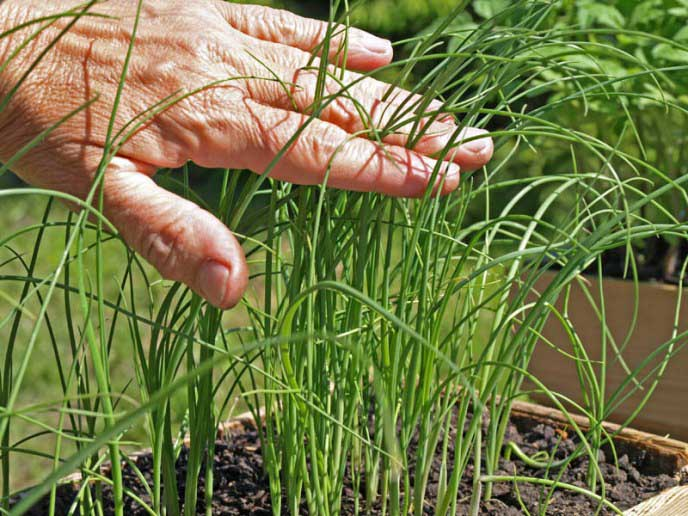 Уход за луком-пореем состоит из набора классических агротехнических приемов