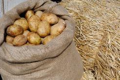 Выращивание картофеля под сеном в последние годы пользуется повышенным интересом