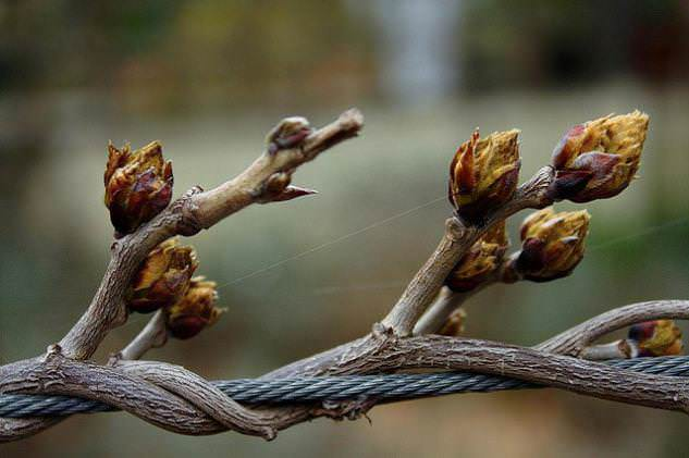 Спящие почки на винограде достаточно легко выдерживают кратковременное снижение температур до -3-4 °С
