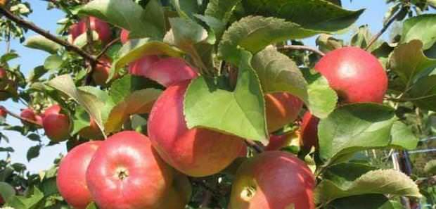 Яблони сорта «Пепин шафранный» произрастают практически во всех регионах нашей страны