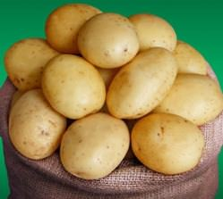 Картофель «Ривьера» формирует высококачественный урожай