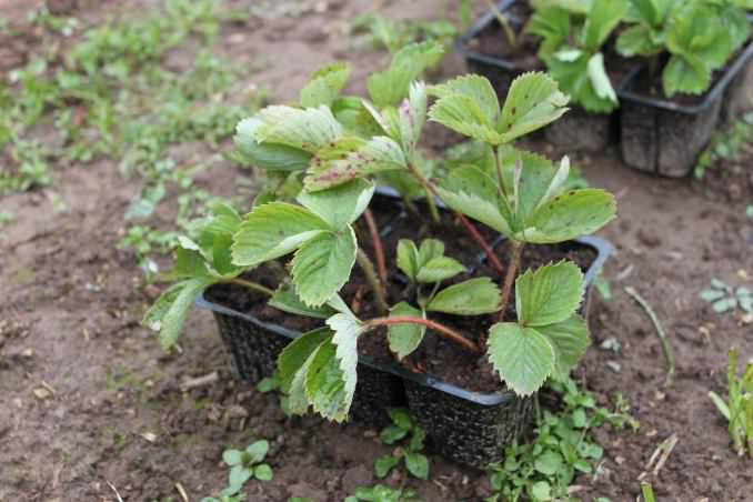 Землянику садовую сорта «Фелиция» следует выращивать из рассадного материала