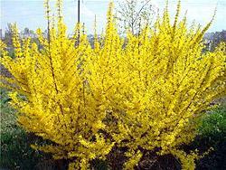 Цветение форзиции в саду символизирует начало весны