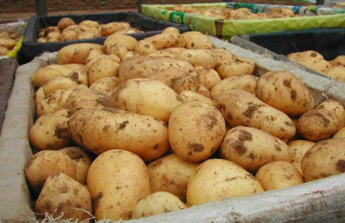 Картофель сорта «Триумф» выгодно характеризуется высоким выходом товарных клубней